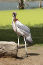 Painted stork walk in the fields Stock Image