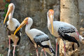 Painted stork widely distributed over plains asia Stock Image