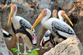 Painted stork widely distributed over plains asia Royalty Free Stock Photo