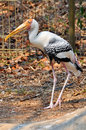 Painted stork widely distributed over plains asia Stock Photography