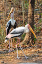 Painted stork widely distributed over plains asia Stock Images