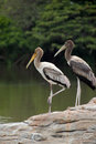 Painted storks Royalty Free Stock Photography