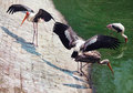 Painted storks Royalty Free Stock Photo