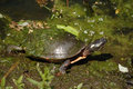 Painted Turtle Stock Image