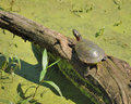 Painted Turtle Stock Photos
