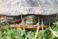 Painted Turtle (Chrysemys picta) Stock Images