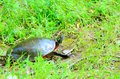 Painted turtle a out of the water and in the grass Stock Photo
