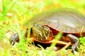 Painted turtle a out of the water and in the grass Stock Photography