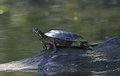 Painted turtle sunning on a log sits fallen in northern wisconsin lake Stock Images