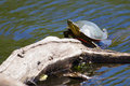 Painted turtle sunning two on a log Stock Image