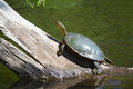 Painted turtle sunning two on a log Stock Photography
