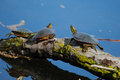 Painted turtles basking in the sun on a log Royalty Free Stock Photo