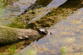 Painted turtles climbing. Royalty Free Stock Photo