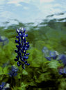 Painterly Bluebonnet Royalty Free Stock Photo