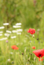 Painterly looking background with red poppies and daisies Stock Image