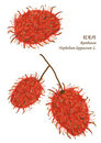 Painting rambutan Isolated_no vector Royalty Free Stock Photos