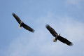 Pair of adult bald eagles haliaeetus leucocephalus in flight against a blue sky Royalty Free Stock Photo