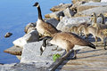 Pair of adult canada geese lead their young goslings over a rocky ledge towards the water Stock Photos