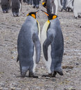 Pair of adult king penguins performing mating movements in spring on south georgia mate for life Royalty Free Stock Image