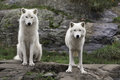 Pair of Arctic Wolves in a fall, forest environment Royalty Free Stock Photo