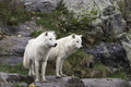 A pair of Arctic Wolves Royalty Free Stock Photo
