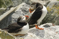 Pair of Atlantic Puffins making eye-contact on Machias Seal Island, Canada Royalty Free Stock Photo