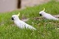 Pair of australian cockatoos on grass in south australia Royalty Free Stock Image