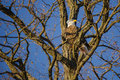 Pair of bald eagles on bare winter tree facing setting sun at dusk sitting forked branches that are a eagle is sunlit by the Stock Photography