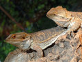 Pair of Bearded Dragon Lizards Stock Images