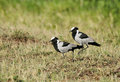 A pair of beautiful blacksmith plover the name is given for the repeated metallic tink alarm call as if hammer striking metal Stock Image