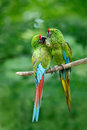 Pair of birds, green parrot Military Macaw, Ara militaris, Costa Rica Royalty Free Stock Photo