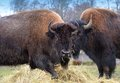 Pair of bison american feeding on hay Royalty Free Stock Photos