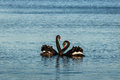 Pair of black swans in courtship on lake Royalty Free Stock Image