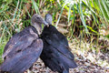 A pair of black vultures Royalty Free Stock Photo