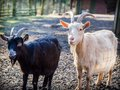 Pair of black and white male goats Royalty Free Stock Photo