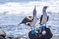 Pair of Blue-footed Boobies by the Sea 5
