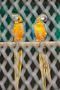 Pair of blue macaw in cage Royalty Free Stock Image