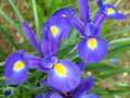 Pair of blue and purple iris flowers close up a as spring concept Royalty Free Stock Images