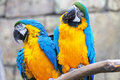 Pair of blue and yellow ara parrots.