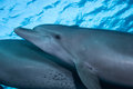 A pair of bottlenose dolphin Royalty Free Stock Photo