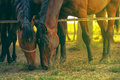 Pair of brown arabian horses grazing Royalty Free Stock Photo