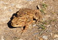 Pair of brown Frogs in the nature Royalty Free Stock Photo