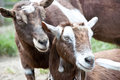 Pair of brown goats snuggling Royalty Free Stock Photo