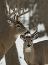 Pair of bucks on a cold winter day Stock Photography