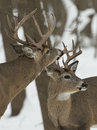 Pair of bucks on a cold winter day with one sniffing the others antlers Stock Images