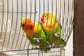 Pair of budgies cling to bars the Stock Photos