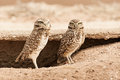 Pair of Burrowing Owls Royalty Free Stock Images