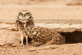 Pair of burrowing owls adult male and female in front den Royalty Free Stock Photography