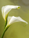 Pair of calla flowers Royalty Free Stock Photo