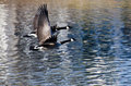 A Pair of Canada Geese Flying Over Water Royalty Free Stock Image